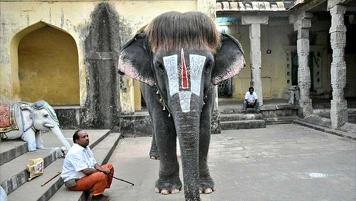 mannargudi-sengamalam-elephant-pics-gone-viral-on-internet