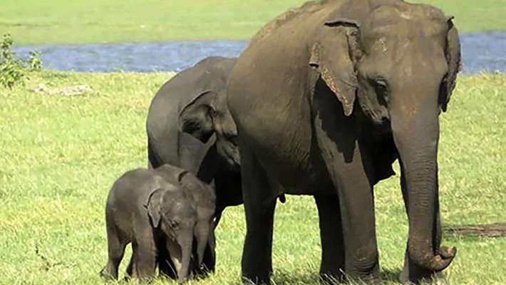 wild-elephant-gives-birth-to-two-babies
