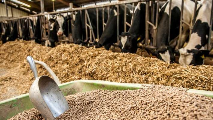 cattle-feed-price-increasing-making-problems-among-milk-farmers