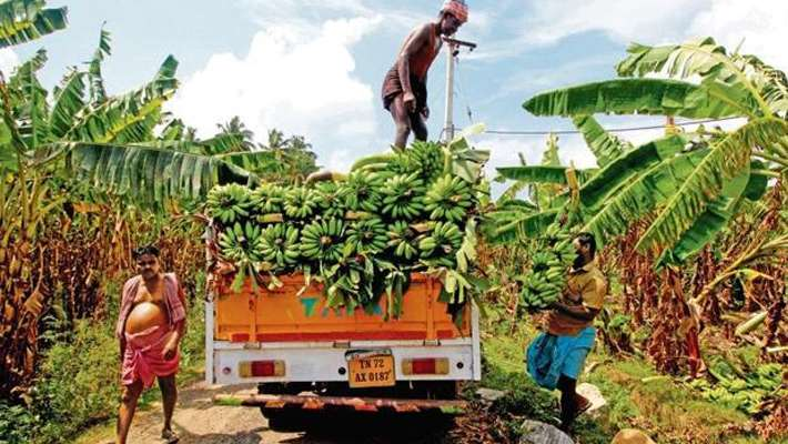 banana-farmers-implementing-new-techniques